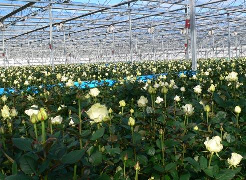 Фото - Строительство тепличного комплекса по выращиванию роз площадью 3,4 Га