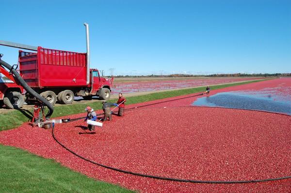 Фото - Промышленное выращивание клюквы
