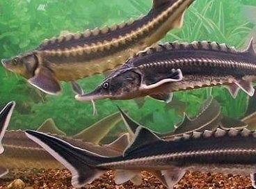 Фото - производство товарной рыбы, икры, продукции