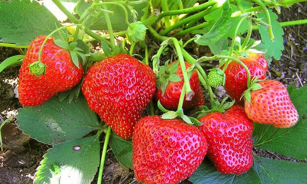 Фото - Strawberry All Year